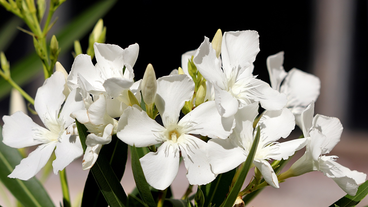 Images Nerium oleander White Flowers Oleander Closeup flower