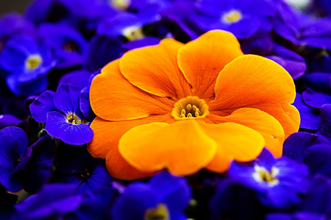 Photo Orange Flowers Primula Macro photography Closeup Macro