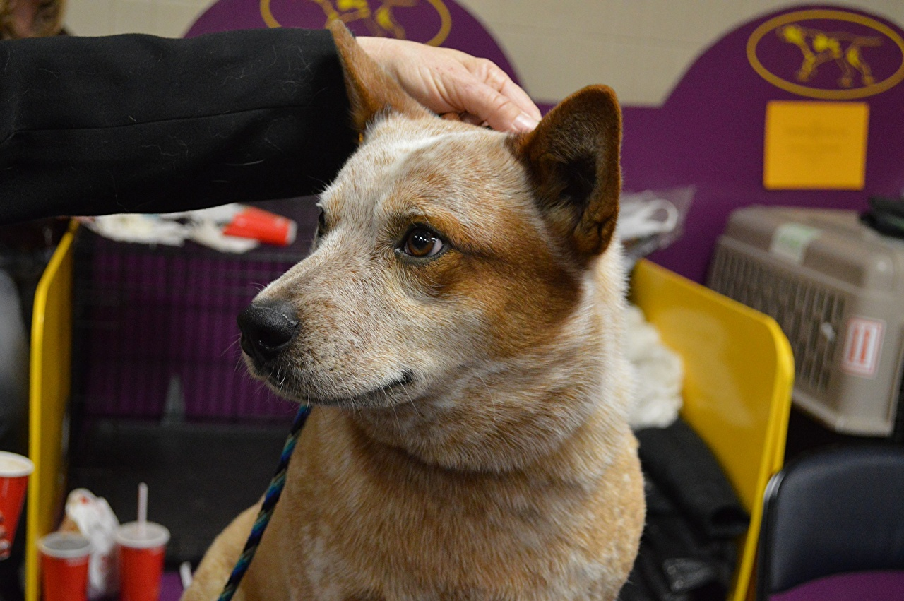 Картинка Австралийская пастушья Собаки головы Животные собака Голова животное