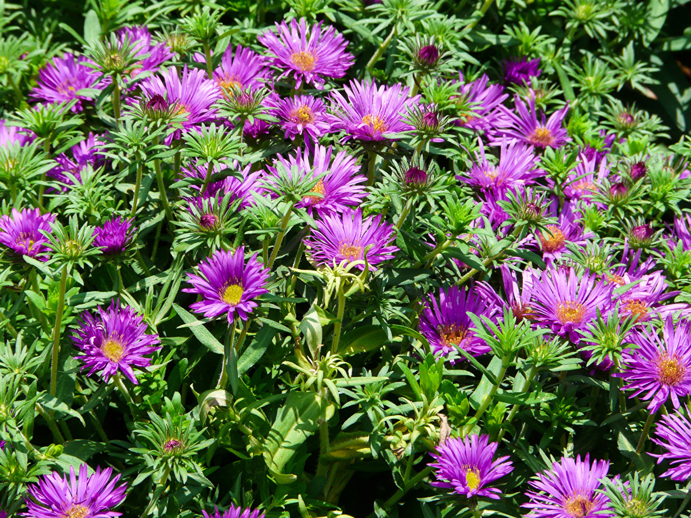 Photo Violet Asters flower Many Flowers