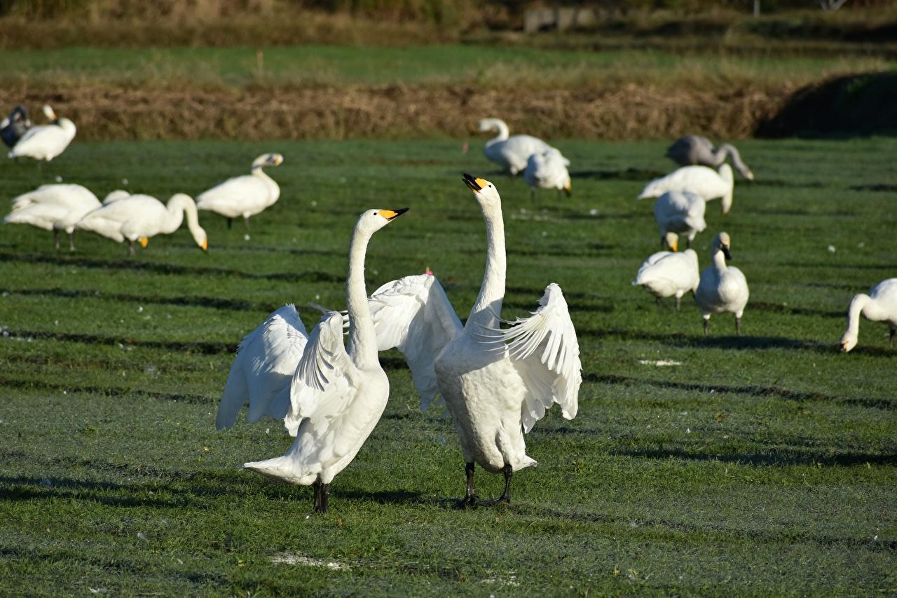 Hintergrundbilder Geese Vögel Schlägerei Grünland Gras Tiere