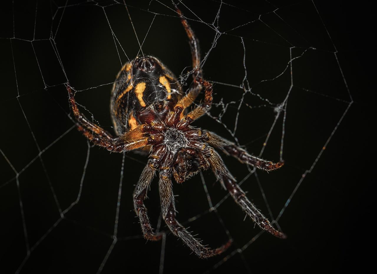 Bilder Insekten Webspinnen Araneus Spinnennetz Tiere Großansicht Schwarzer Hintergrund hautnah ein Tier Nahaufnahme