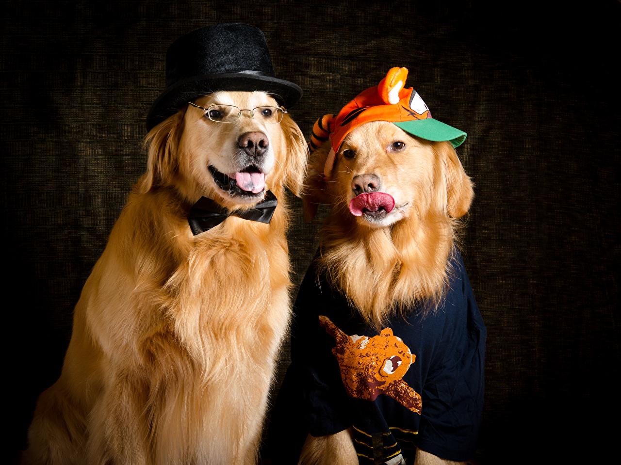 Bilder Golden Retriever Hunde 2 Der Hut Tiere hund Zwei ein Tier