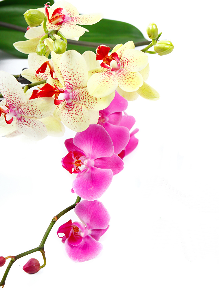 Wallpaper Orchids Flowers Closeup White Background