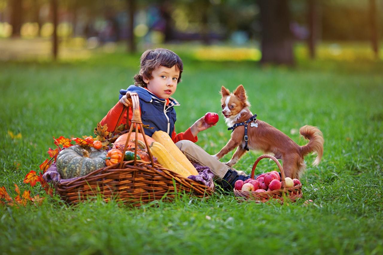 Fotos von Junge Hunde Kinder Herbst Äpfel Weidenkorb Gras Sitzend