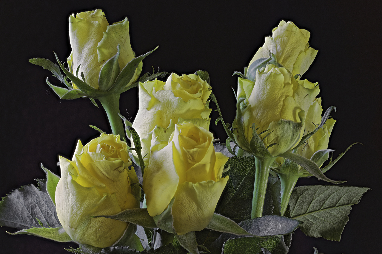 Photo Roses Yellow Flowers Closeup Black background