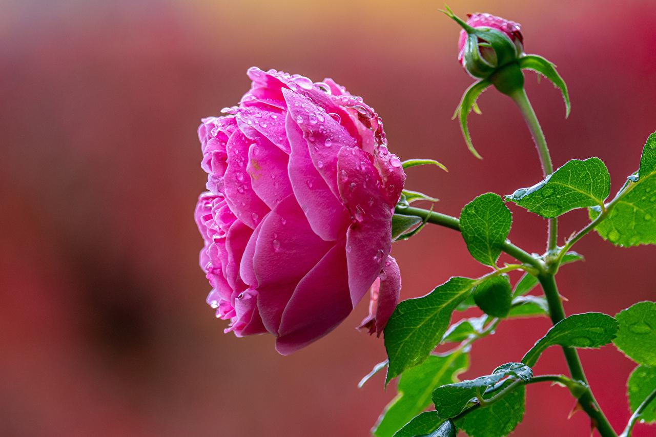 Foto unscharfer Hintergrund Rose Rosa Farbe Blumen Tropfen Knospe hautnah Bokeh Rosen Blüte Nahaufnahme Großansicht Blütenknospe