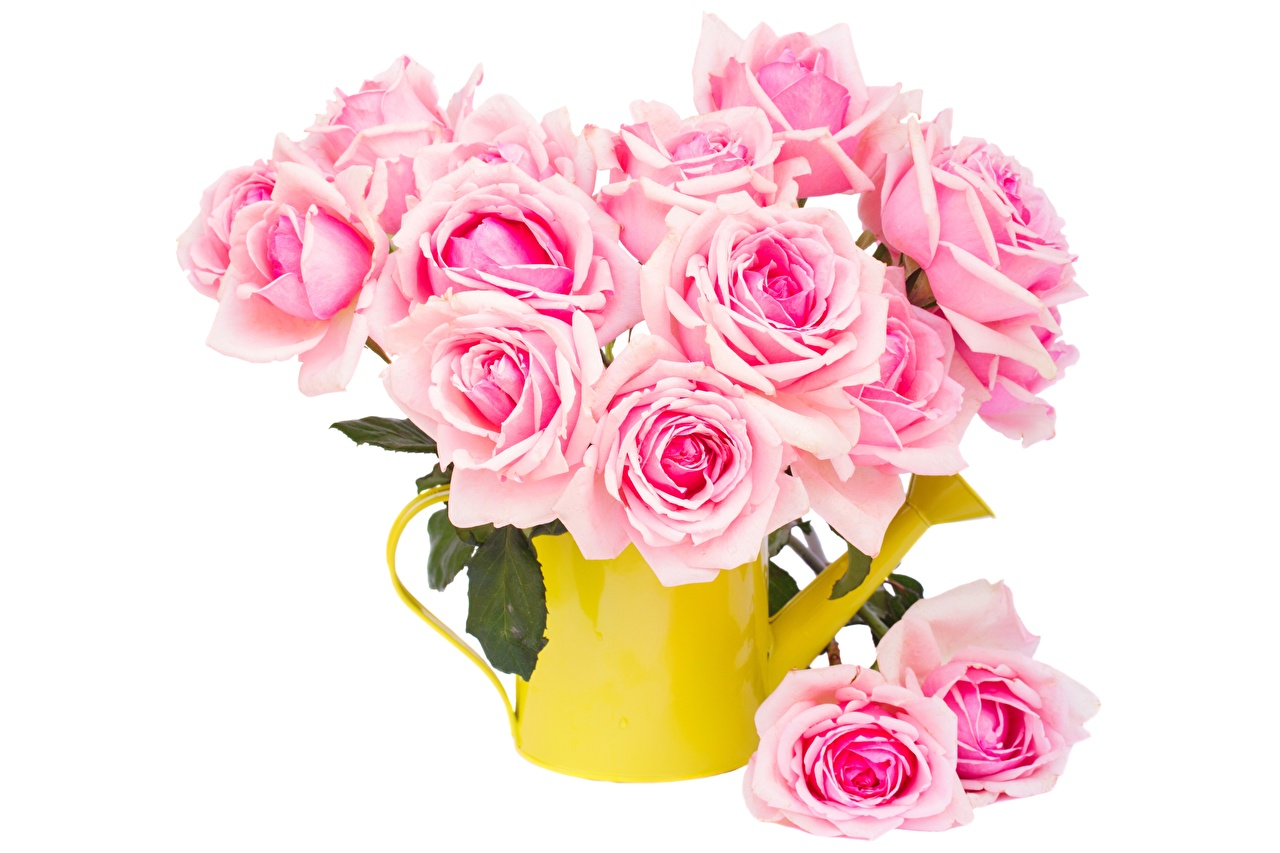 Photo Roses Pink color Flowers White background rose flower