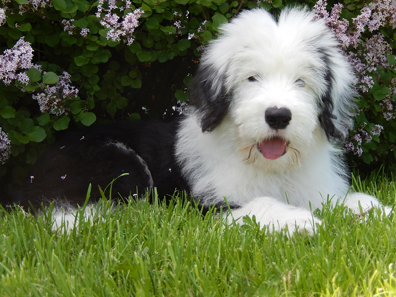 Photos Puppy Old English Sheepdog Dogs Grass Animals puppies dog animal