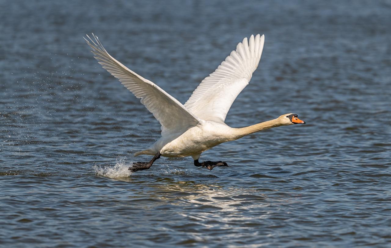 Photo Swans Birds take off Running White Water Animals swan bird Takeoff takes off taking off Run animal