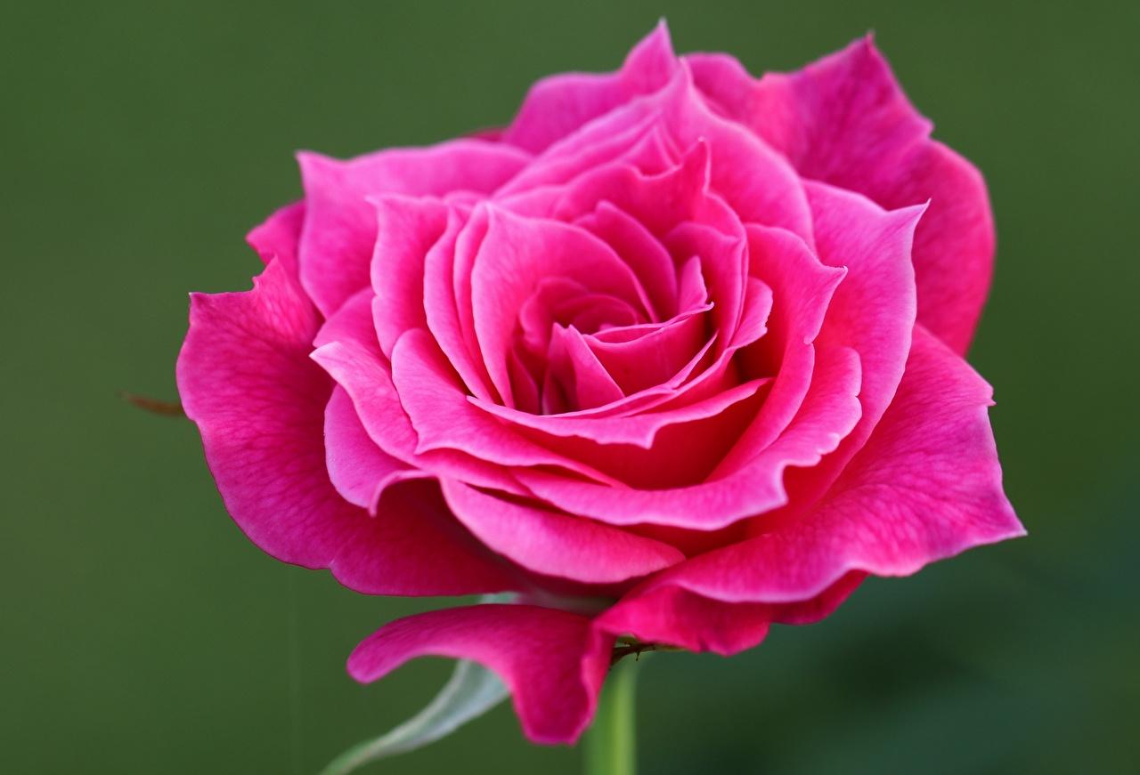 Desktop Hintergrundbilder Rose Rosa Farbe Blüte hautnah Rosen Blumen Nahaufnahme Großansicht