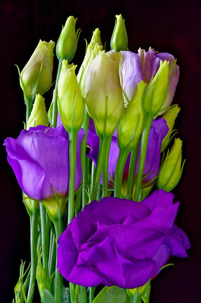Foto Violett Blumen Eustoma Knospe hautnah Schwarzer Hintergrund  für Handy Blüte Lisianthus Nahaufnahme Großansicht Blütenknospe