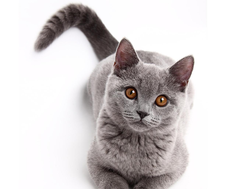 Photos Cats Eyes gray Glance animal cat Grey Staring Animals