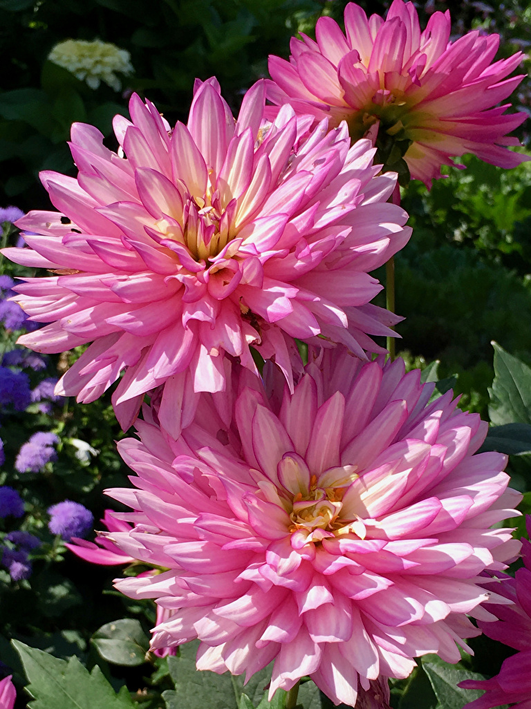 Wallpaper Pink color flower Dahlias Closeup  for Mobile phone Flowers