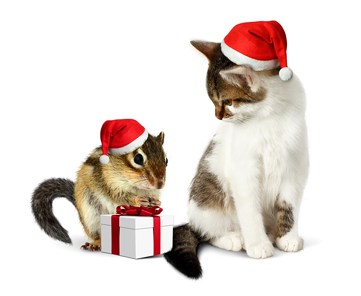 Photos Cats Chipmunks Christmas Two Winter hat Gifts animal Holidays White background cat New year 2 present Animals