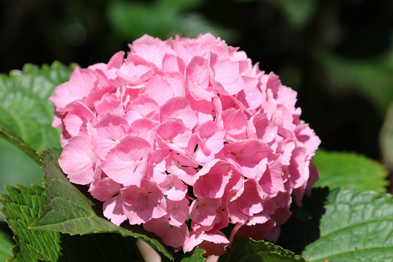 Desktop Hintergrundbilder Bokeh Rosa Farbe Blumen Hortensie Großansicht unscharfer Hintergrund Blüte Hortensien hautnah Nahaufnahme