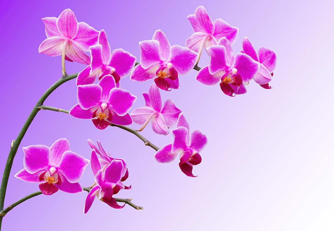 Desktop Hintergrundbilder Orchidee Rosa Farbe Blumen