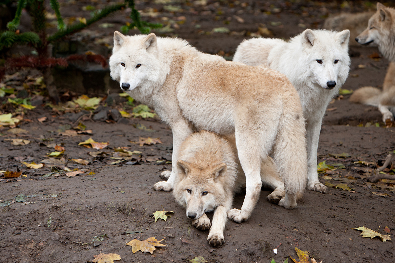 Desktop Wallpapers wolf White animal Wolves Animals