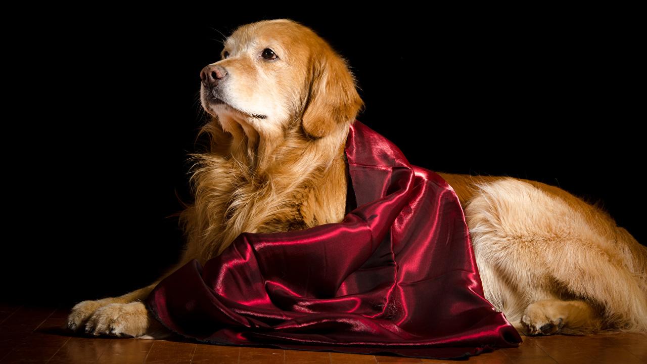 Bilder von Golden Retriever Hunde Tiere Schwarzer Hintergrund hund ein Tier