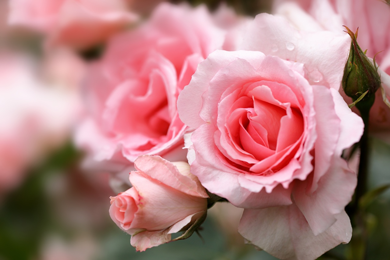 Image Roses Pink color Flowers Closeup rose flower