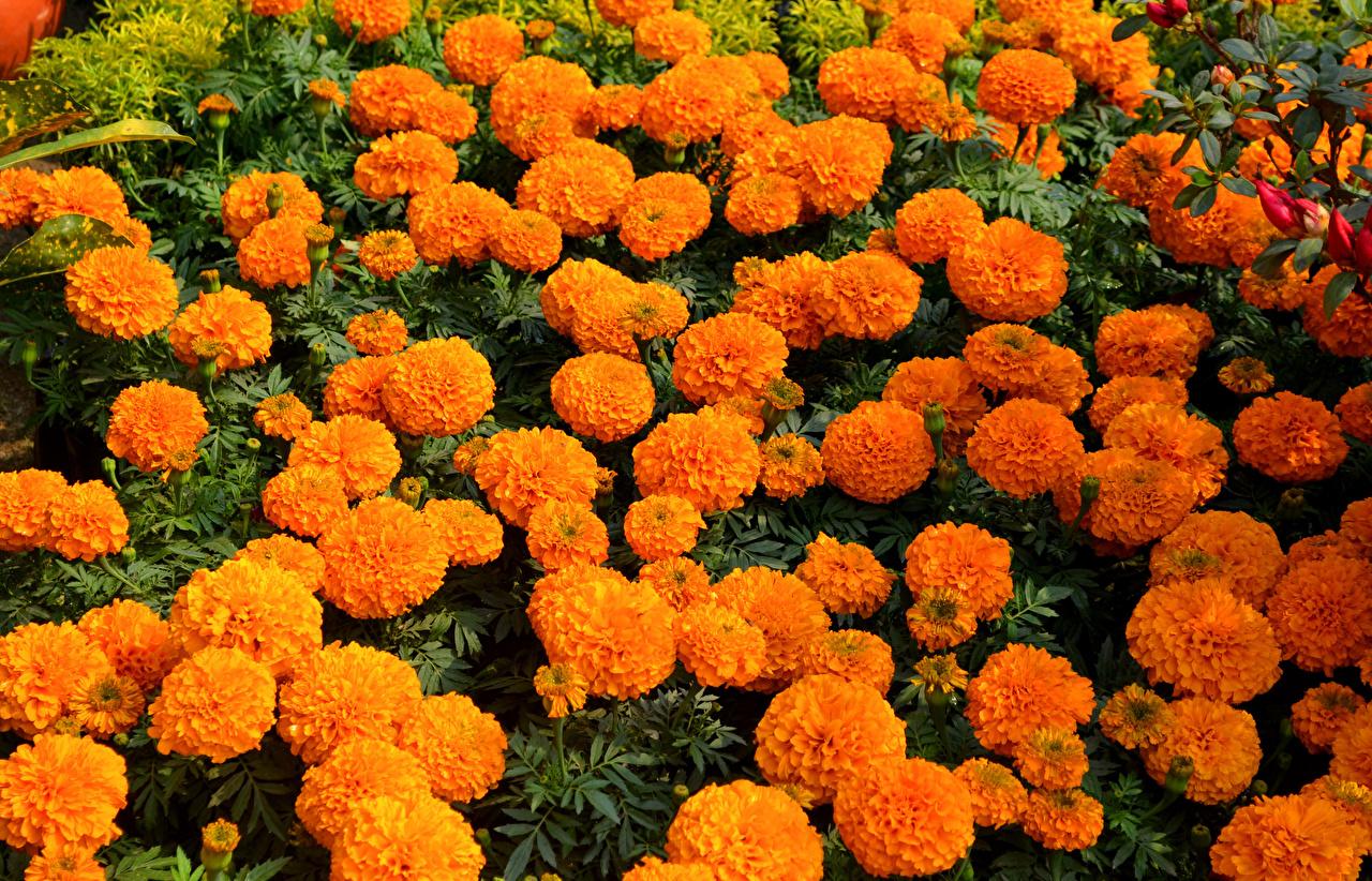 Tagetes Muitas Laranja flor Flores