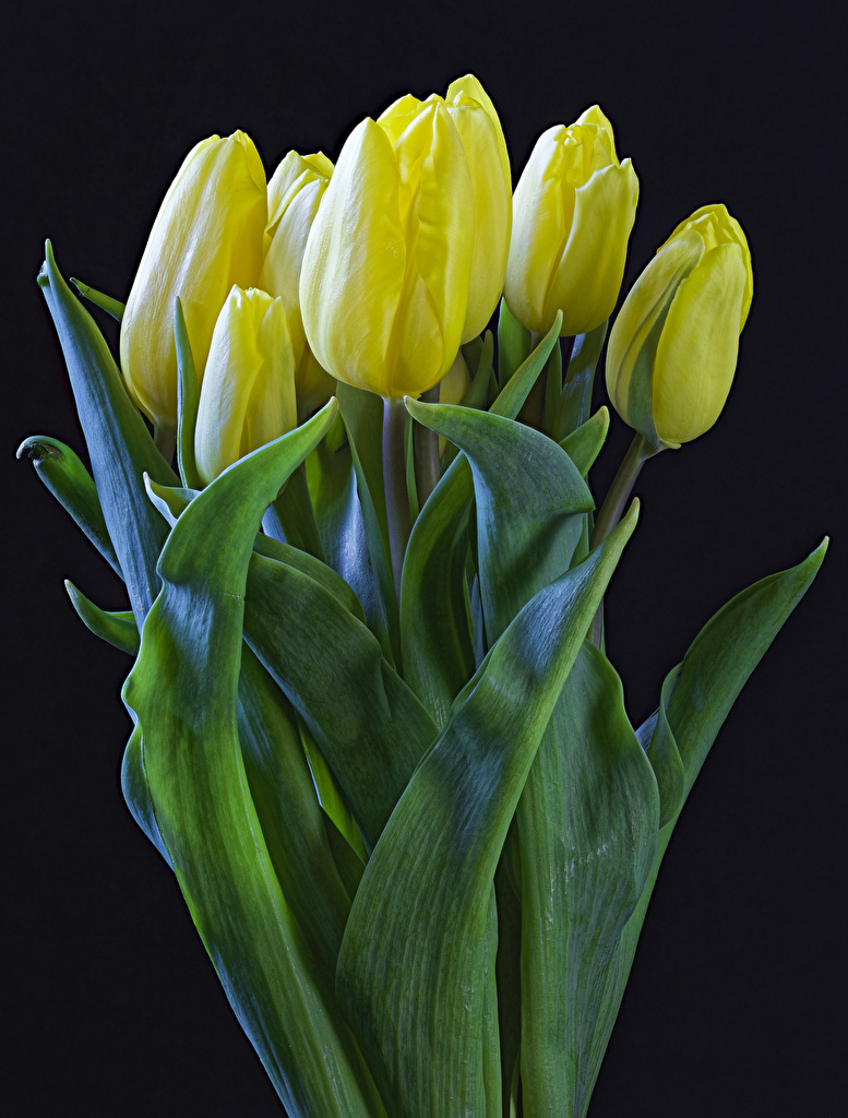 Picture Yellow Tulips Flowers Black background