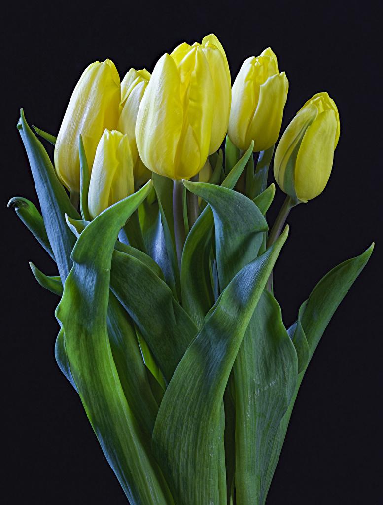Bilder Gelb Tulpen Blumen Schwarzer Hintergrund