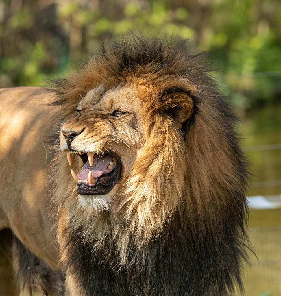Images Lions Canine tooth fangs angry Glance Animals lion Roar animal Staring