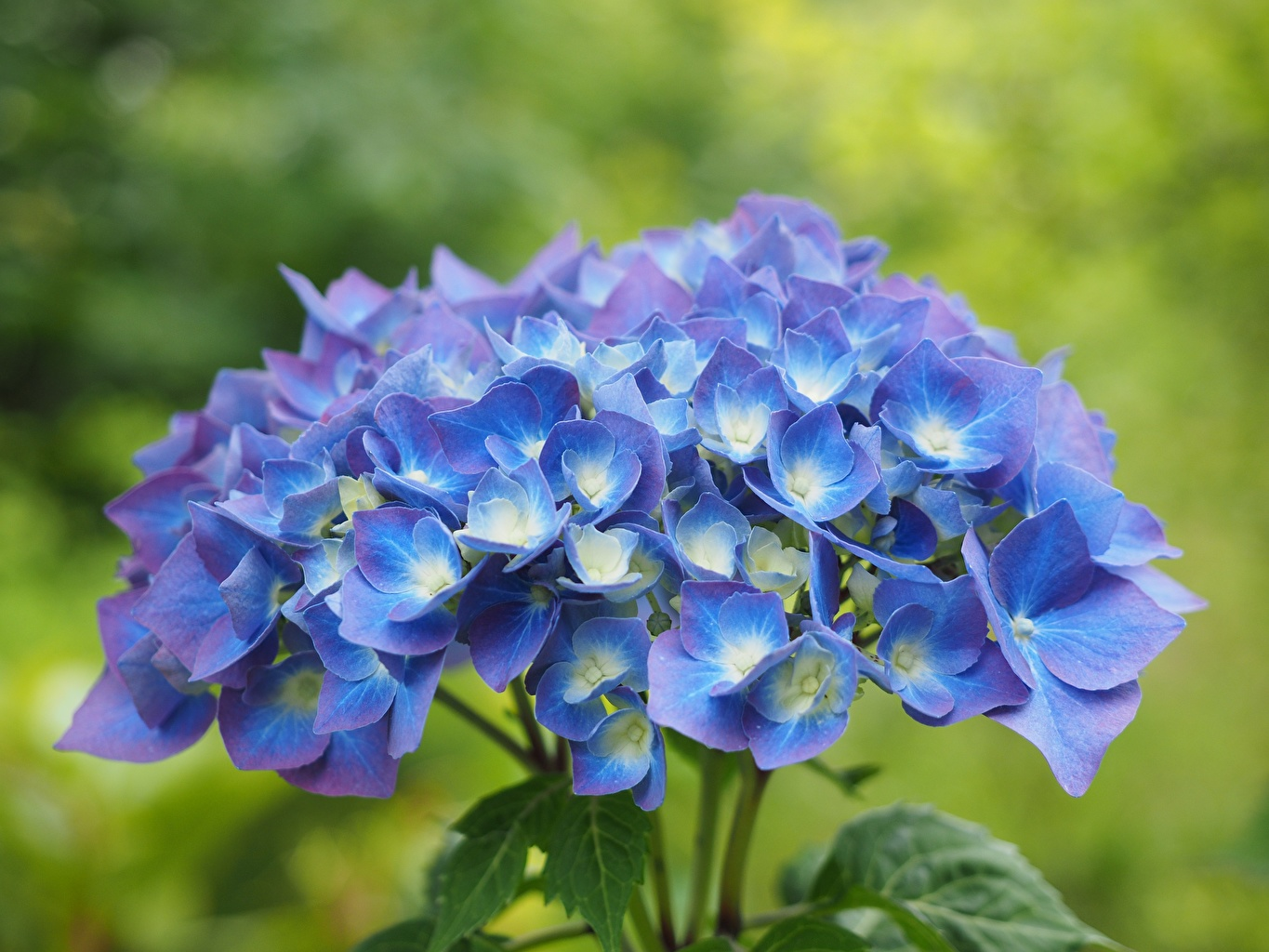 Image Bokeh Blue Flowers Hydrangea Closeup blurred background flower