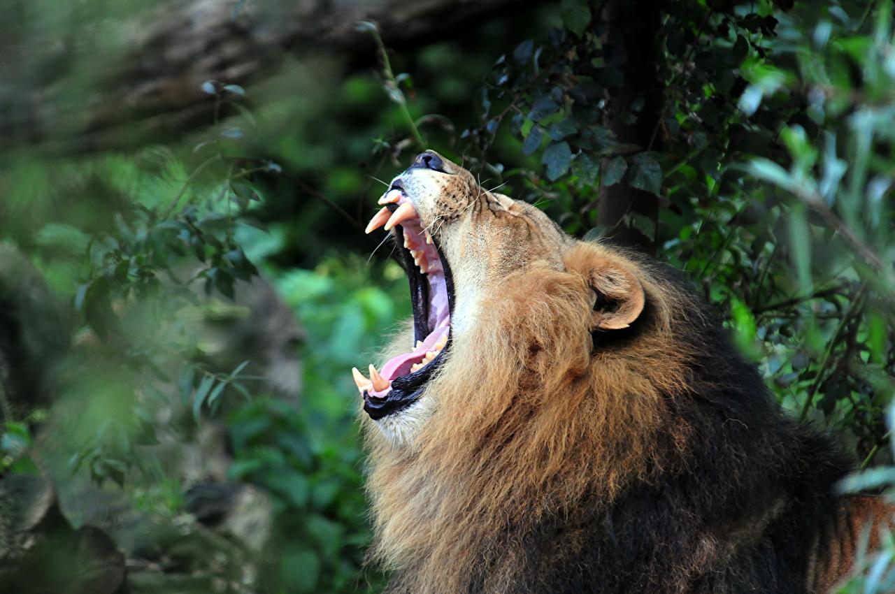 Pictures Lions Roar Teeth Animals