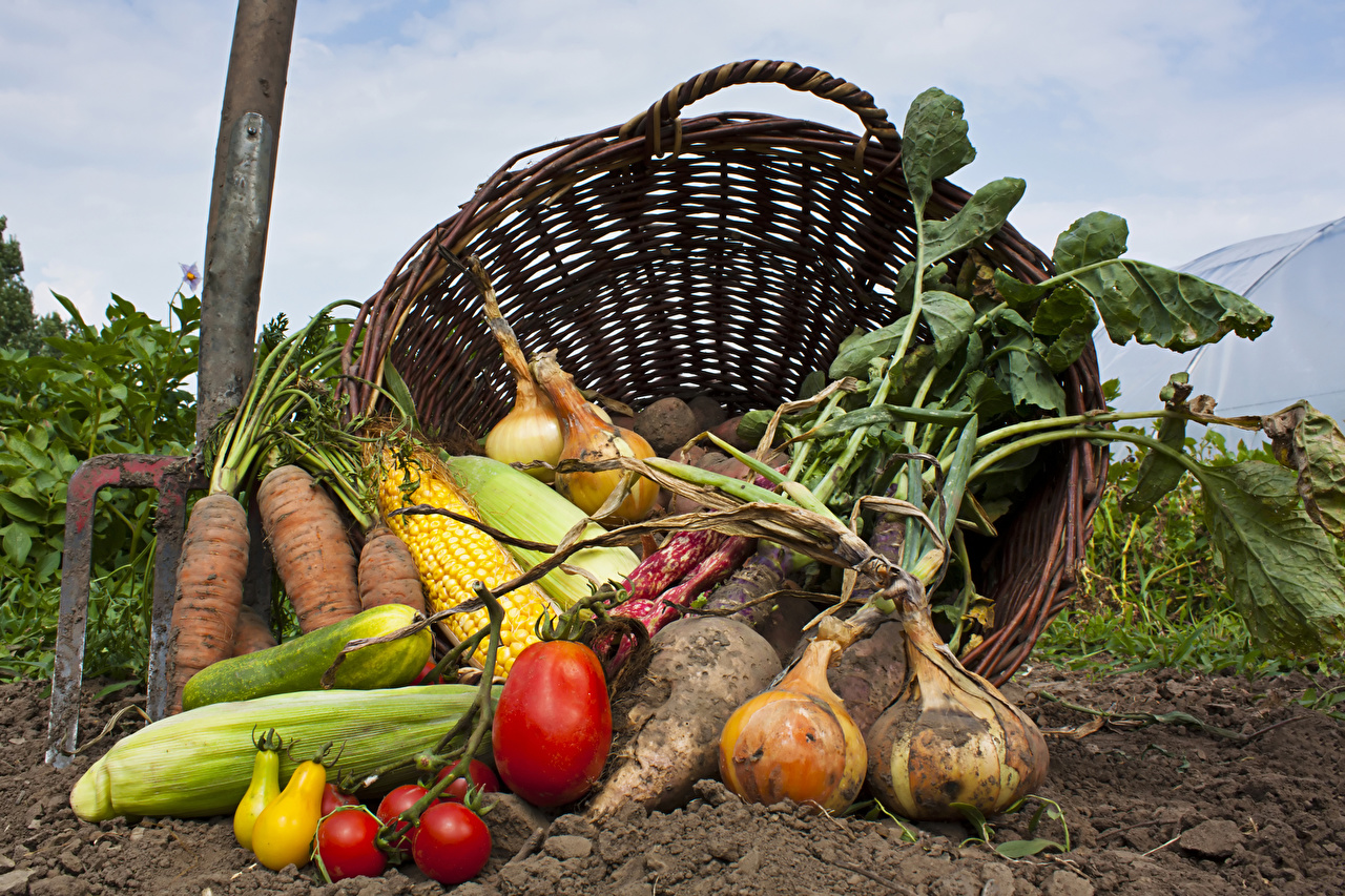 Pictures Soil Corn Onion Carrots Tomatoes Wicker basket Food Vegetables