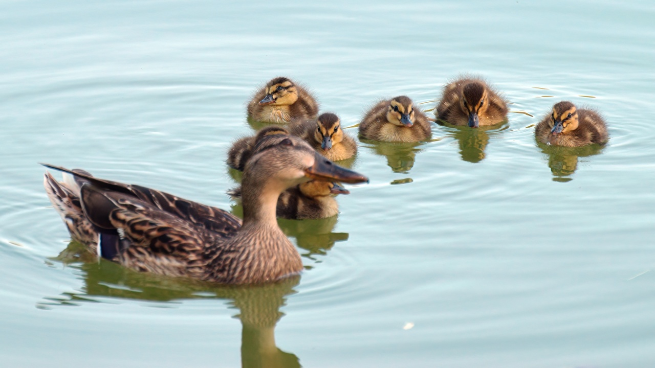 Photo Birds Ducks Nestling Water Animals bird duck animal