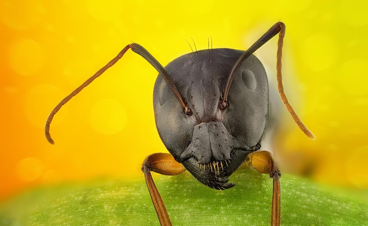 Fourmi En gros plan Macro Tête un animal, fourmis, Macrophotographie Animaux