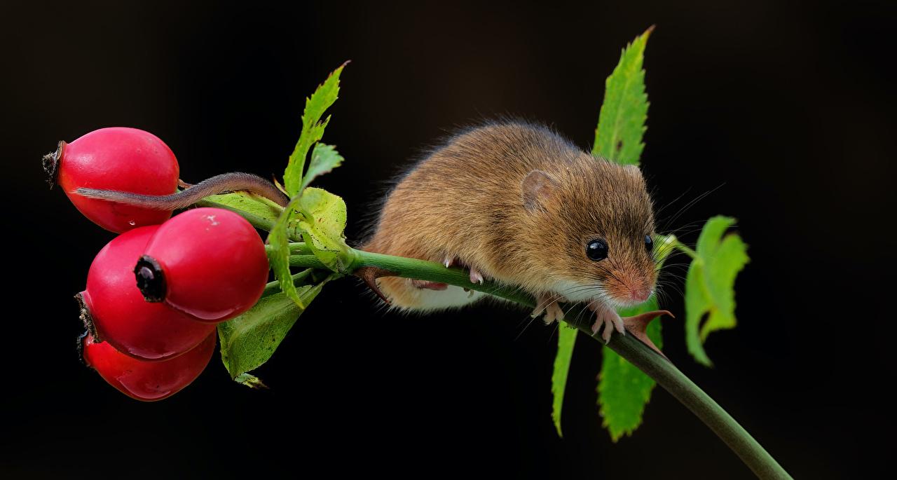 Wallpaper Mice Dog rose berries Branches Animals Black background Rose hip dog rose fruit animal