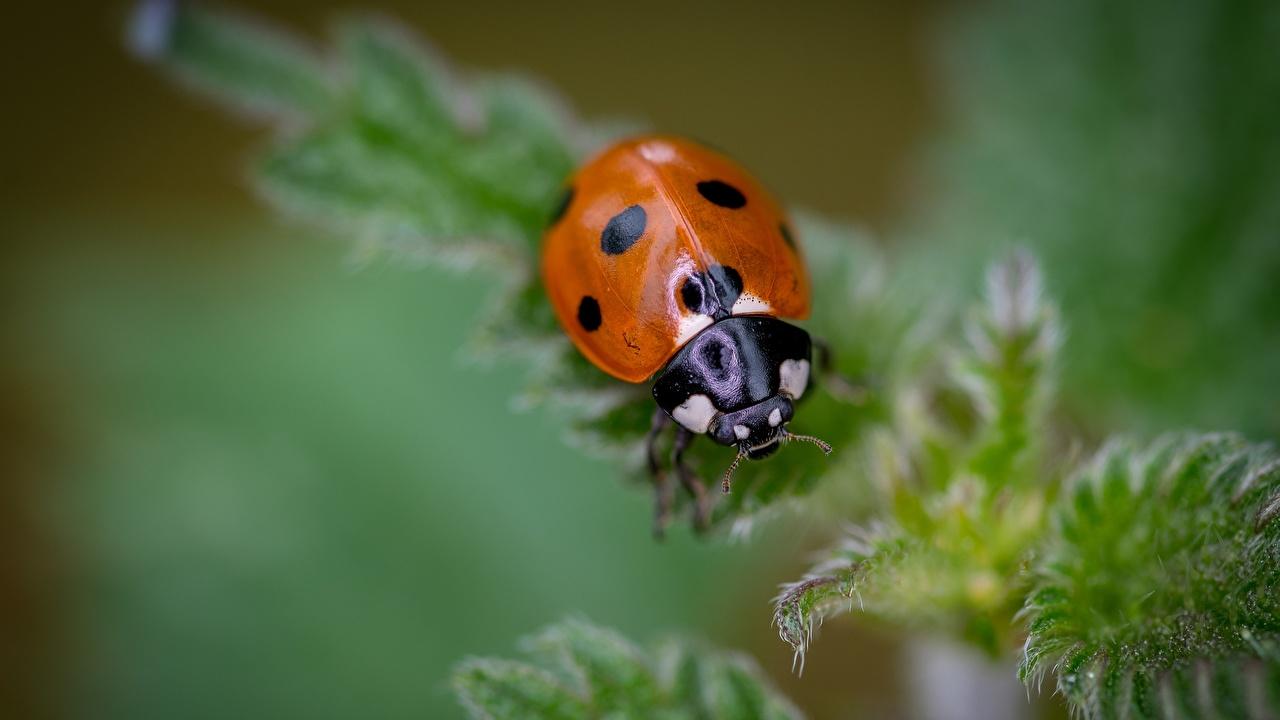 Picture Ladybird Bokeh animal Closeup Ladybugs Lady beetle Coccinellidae blurred background Animals