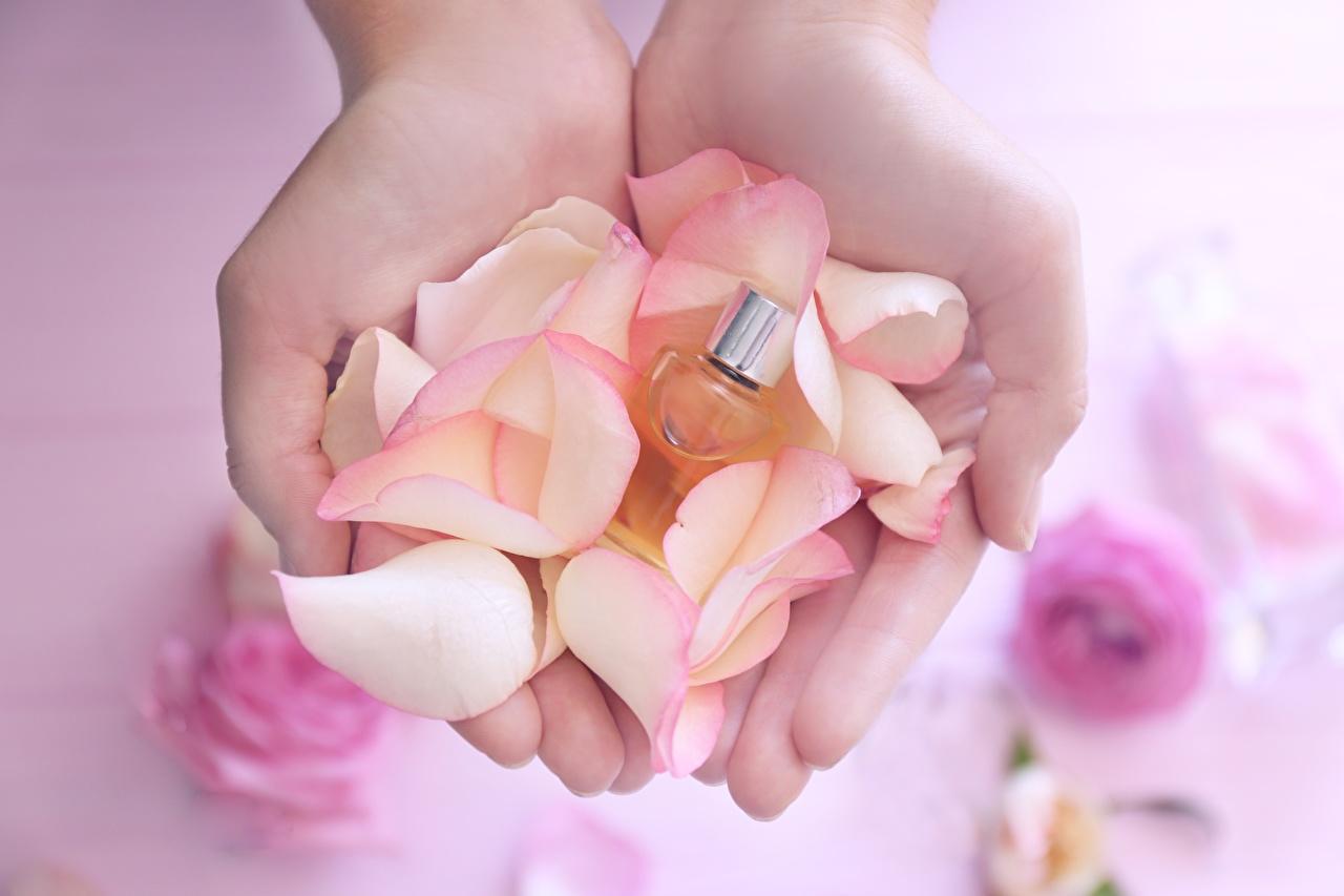 Bilder kronblätter Hand Parfüm Großansicht Blütenblätter hautnah Nahaufnahme