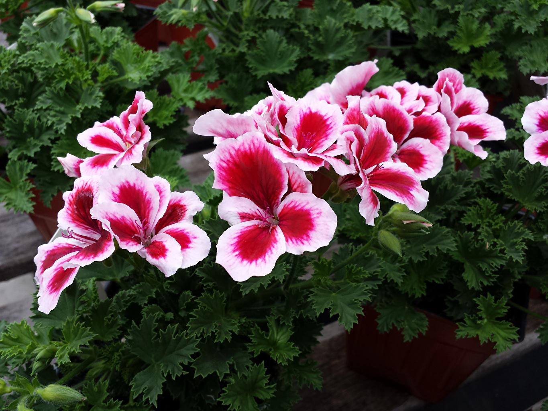 Pictures Flowers Geranium Closeup flower