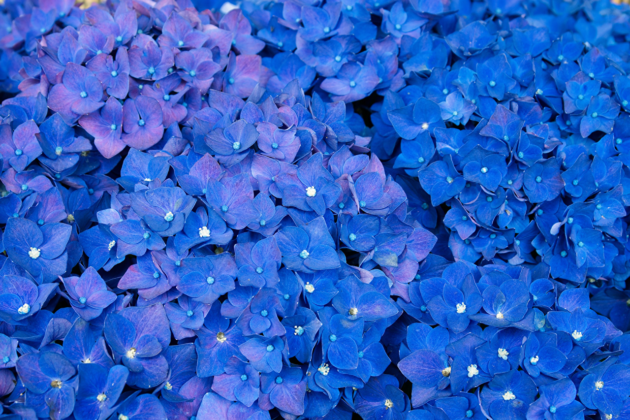 Pictures Blue Flowers Hydrangea Many flower