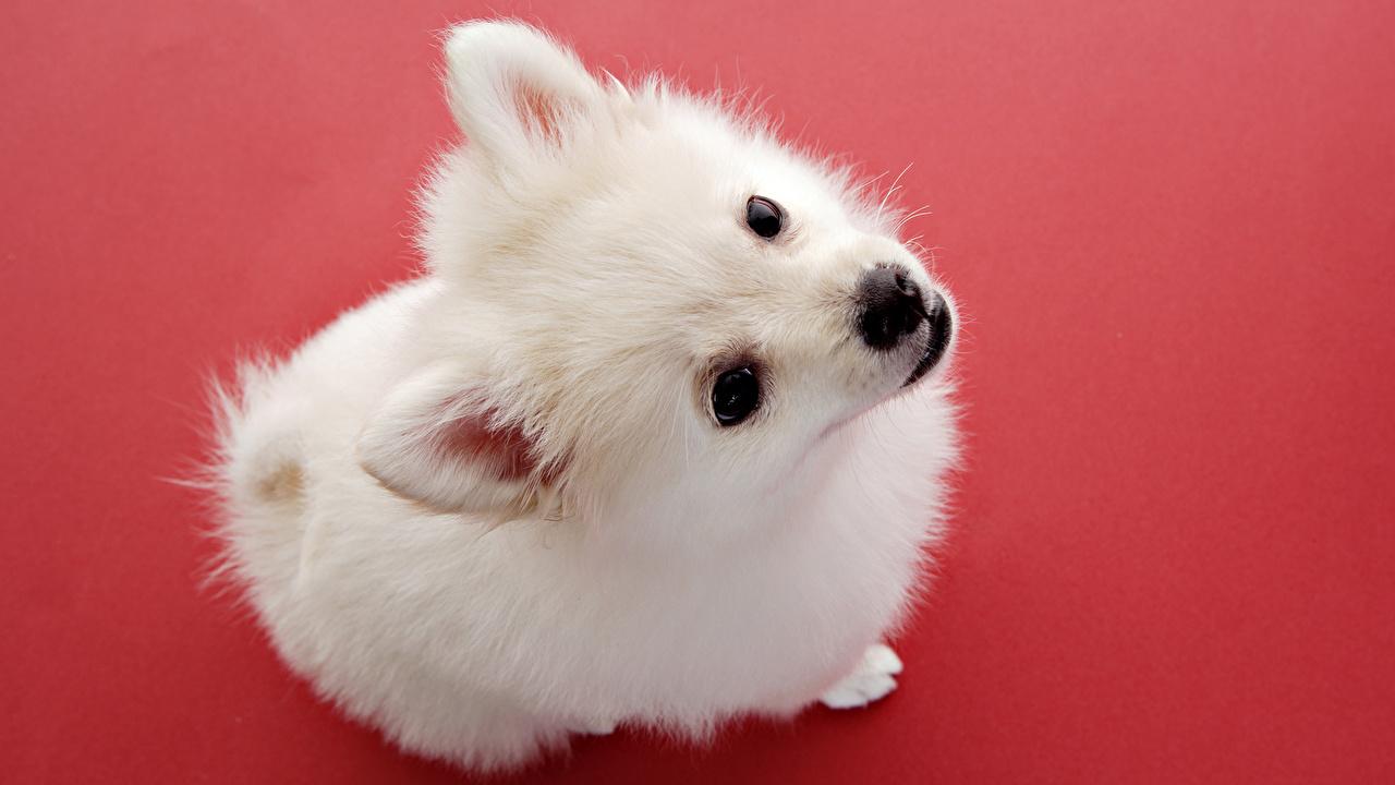 Picture Spitz Puppies Dog Animal