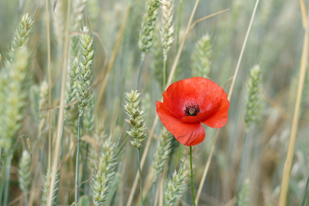 Photo blurred background Red flower spikes Poppies Bokeh spike papaver Flowers Ear botany