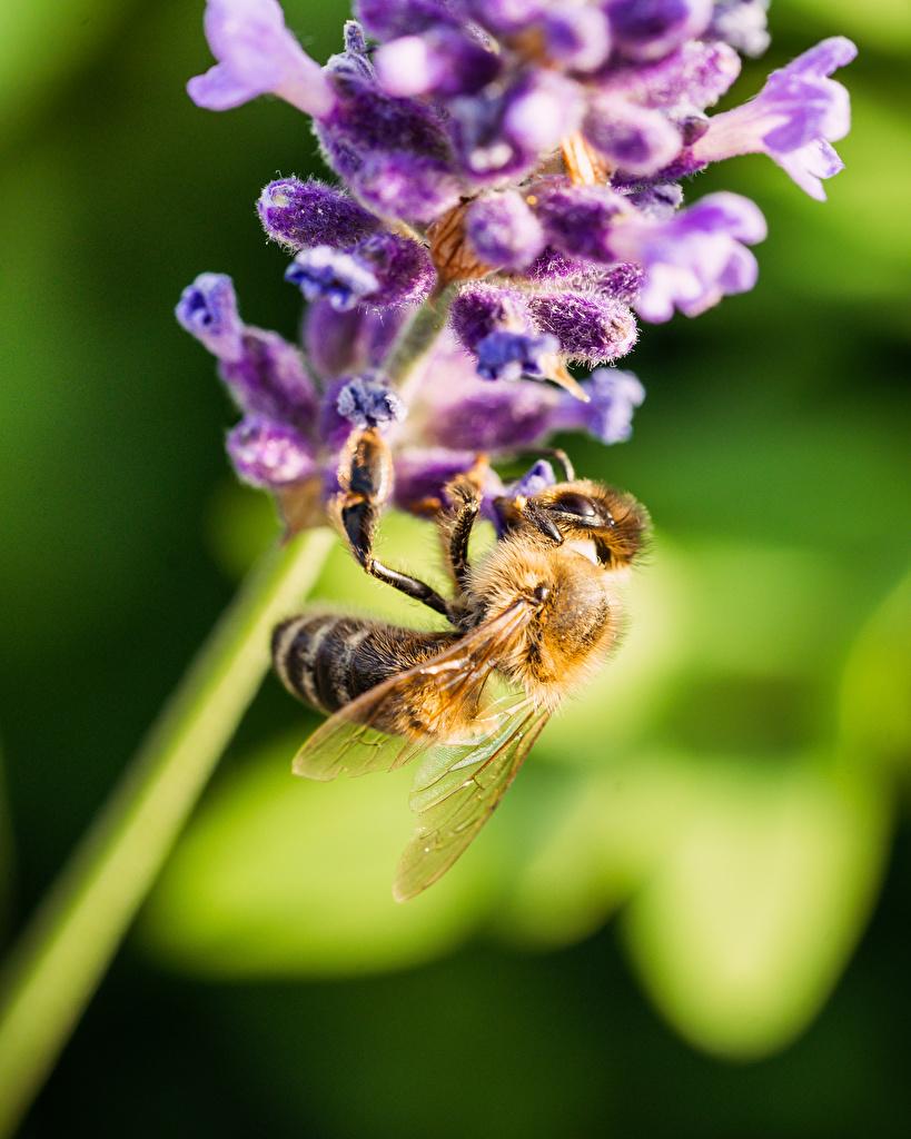 Bilder von Bienen Insekten unscharfer Hintergrund Tiere Großansicht  für Handy Bokeh hautnah ein Tier Nahaufnahme