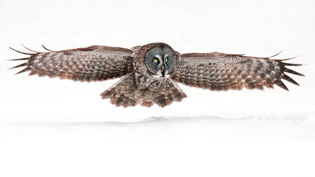 Images Great Grey Owl Owls Birds Wings Animal