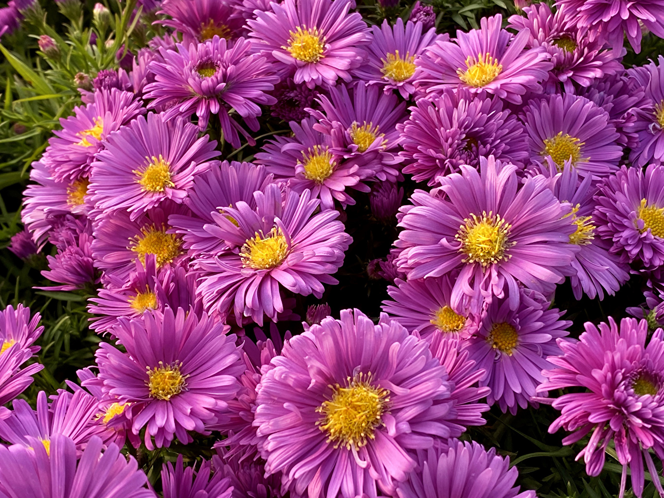 Image Pink color Asters flower Closeup Flowers