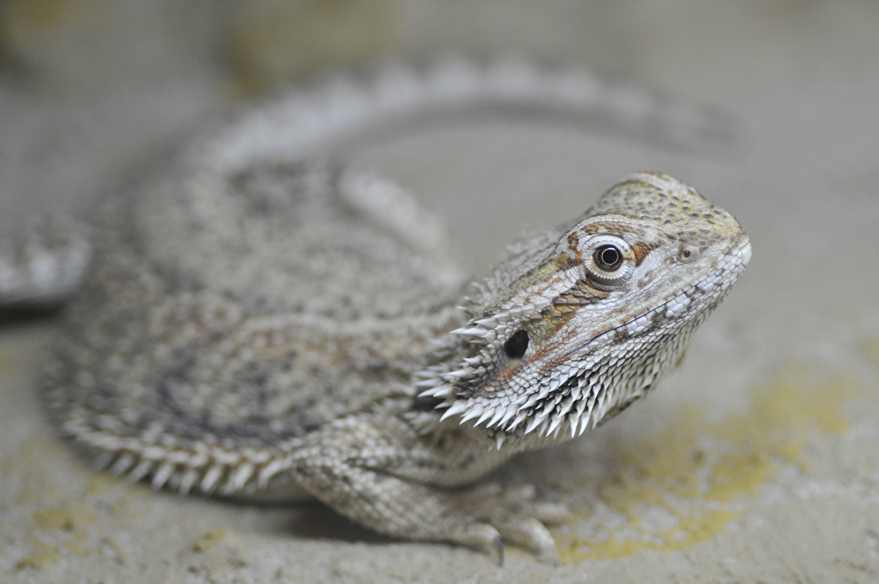 Images Lizard Bokeh Glance animal blurred background Staring Animals