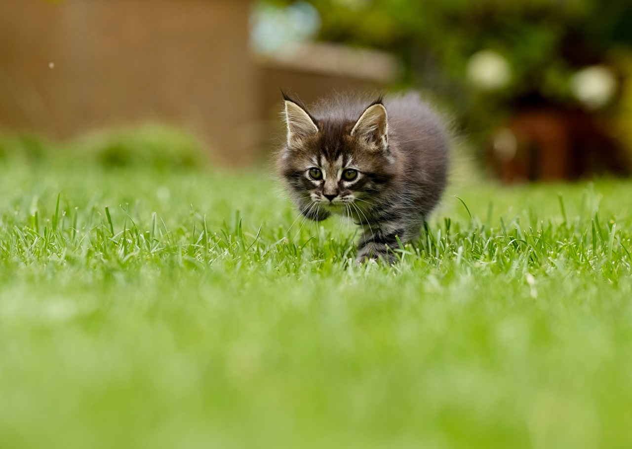Desktop Wallpapers kitty cat Cats Bokeh Grass Staring Animals Kittens cat blurred background Glance animal