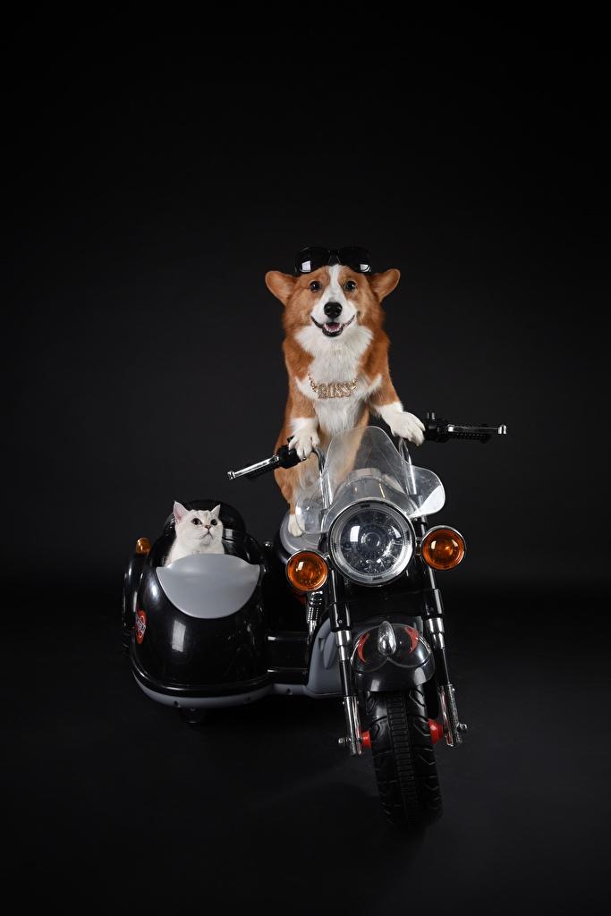 Desktop Hintergrundbilder Welsh Corgi hund Hauskatze Brille ein Tier Schwarzer Hintergrund  für Handy Katze Hunde Katzen Tiere
