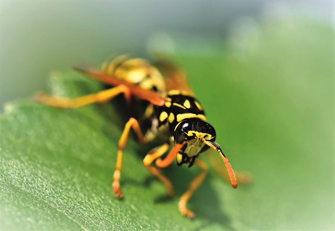 Photos Wasp Insects Bokeh Closeup Animals blurred background animal