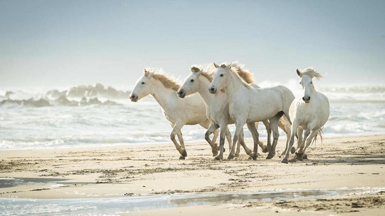Photo horse White Sand Waves Animals Horses animal