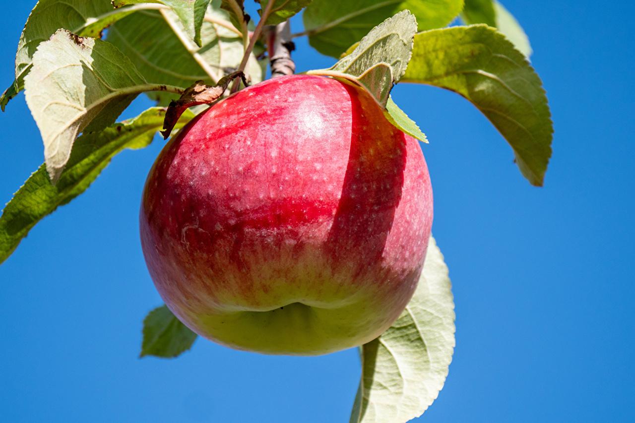 Bilder Äpfel Ast Lebensmittel hautnah das Essen Nahaufnahme Großansicht