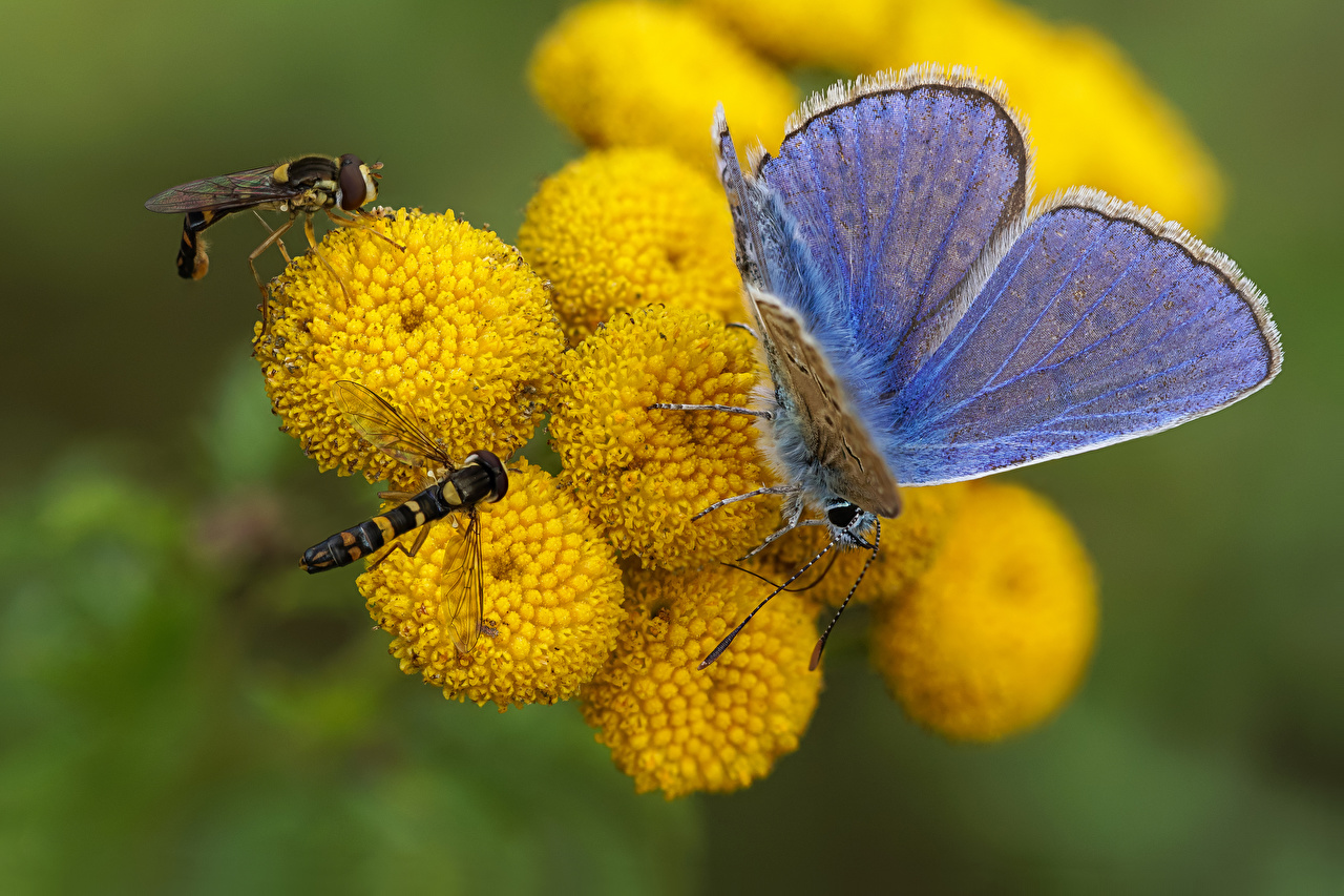 Foto Fliegen Insekten Schmetterlinge syrphids, common blue Tiere Schmetterling ein Tier